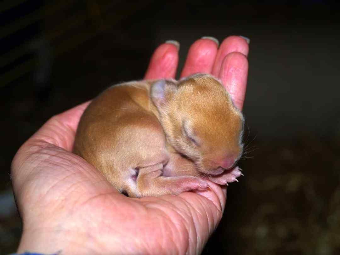 Cuidados para conejos recien nacidos
