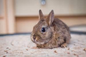los conejos enanos