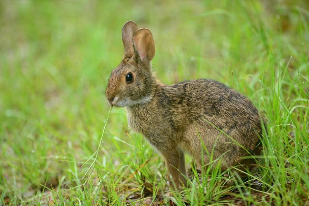 por qué los conejos orinan mucho