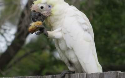 qué comen las cacatúas