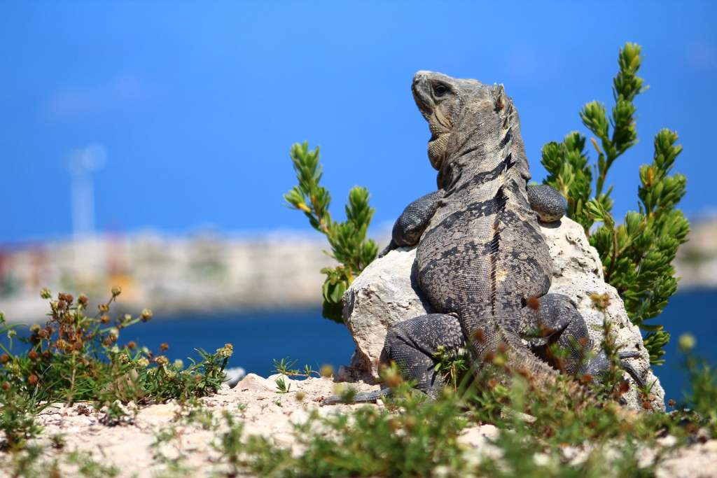 Las iguanas nadan