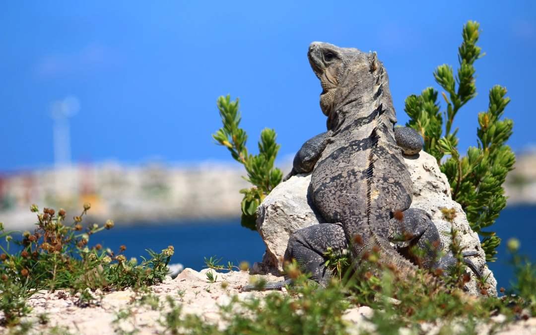 Las iguanas pueden nadar