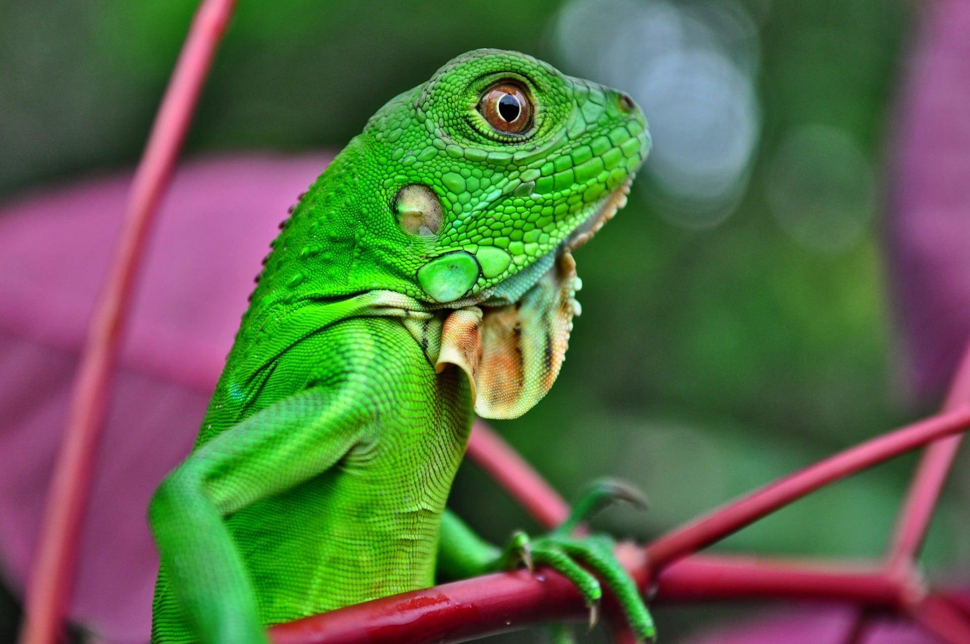 Qué comen las iguanas verdes