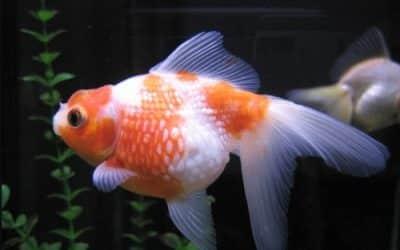 cómo saber si mi pez esta embarazada