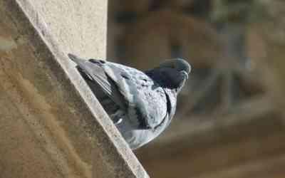 dónde viven las palomas