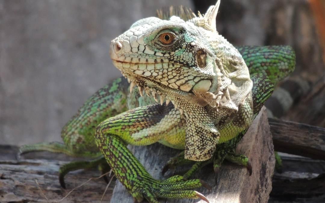 Cómo saber el sexo de una iguana