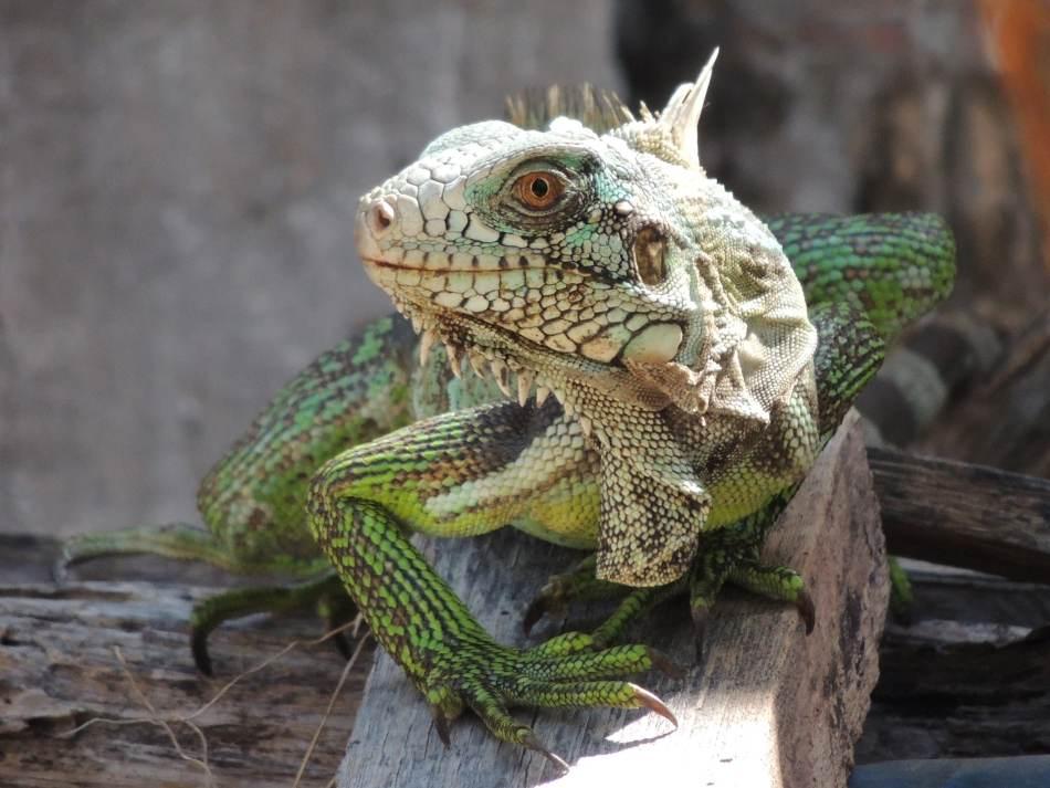 sexado de iguanas