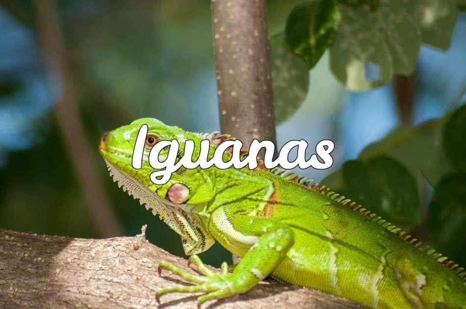 Todo sobre iguanas