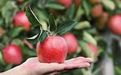 las cobayas pueden comer manzana