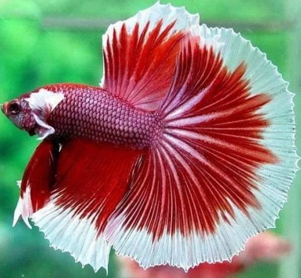 pez betta cuidados