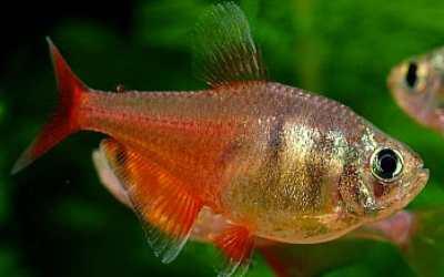 pez tetra cuidados alimentacion