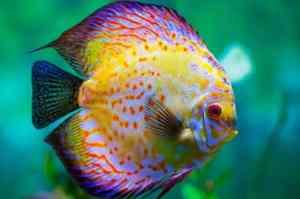qué comen los peces disco