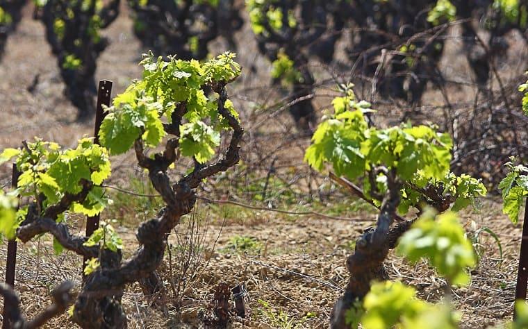grape vines - pruning