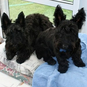 Scottish terriers (scotties) boarding with us