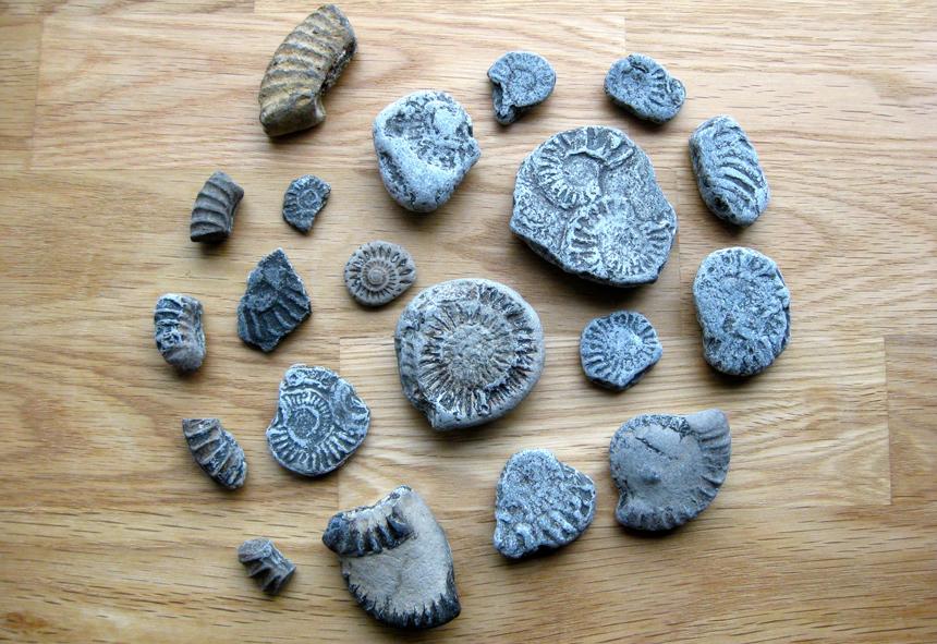 sz_ammonites