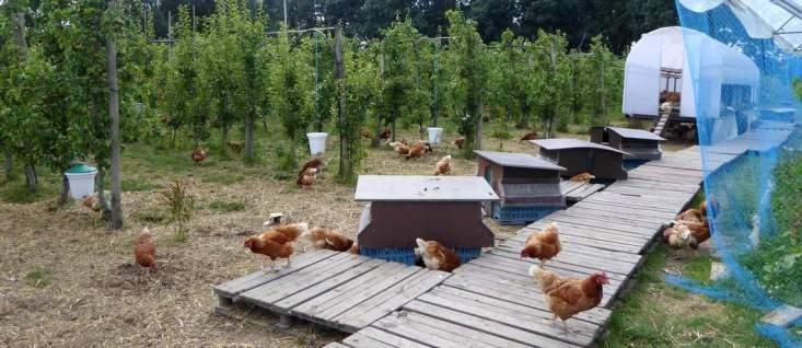 kippen-fruittuin-van-west-davides