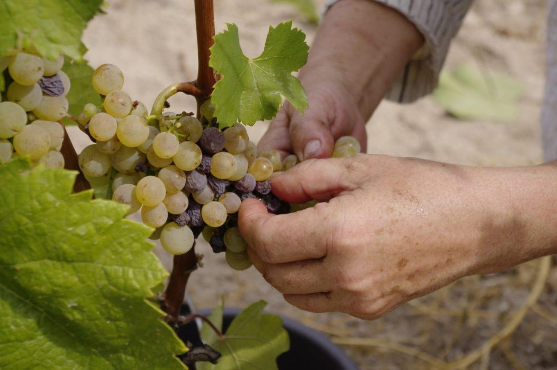 Aszu grape picking, 13th Sept