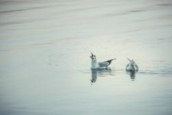 morning song_gulls