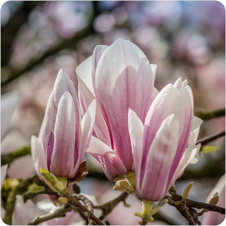 magnolien_6
