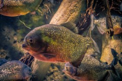 goldener fish