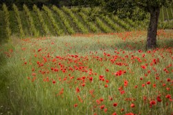 chaos_order_poppies-and-vine