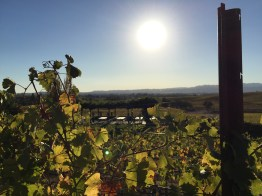 Vineyard at William Hill Estate Winery