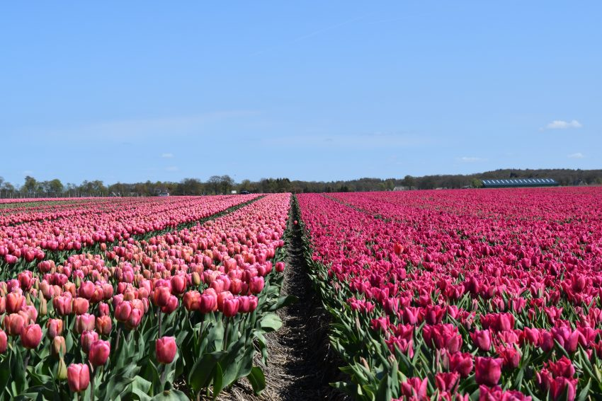 Weekend at Dwingelderveld National Park the tulip fields we walked past towards the supermarket