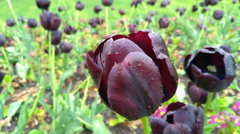 Tulips In The Netherlands - A black tulip, produced by mixing different colours together.