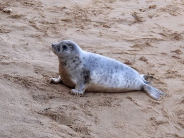 Grey Seal on the Norfolk Coast - Winterton On Sea togetherintransit.nl