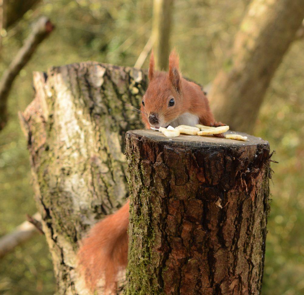 Red Squirrels Alverstone Isle of Wight 2018