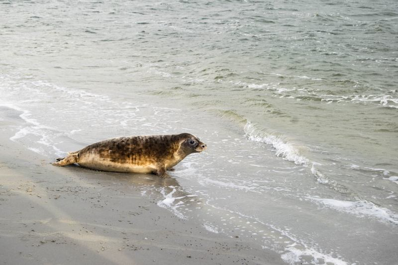 A seal at Lauwersmeer National Park