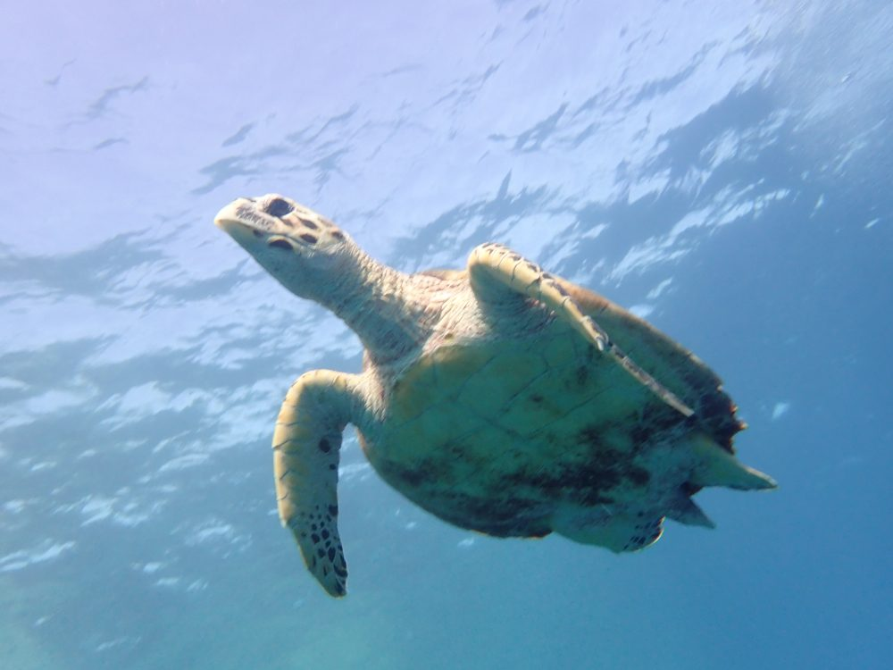 Sea turtle under the sea