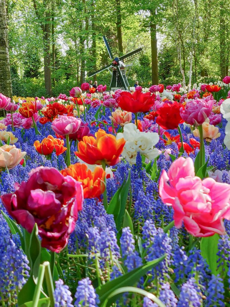 Tulips in the Netherlands - togetherintransit.nl