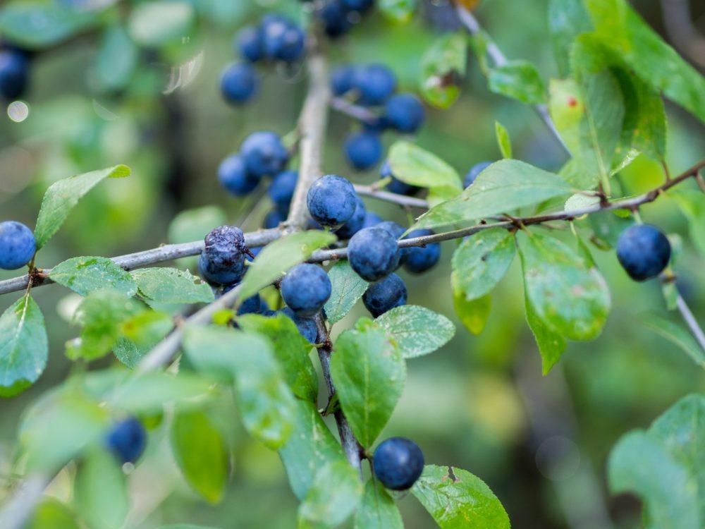 Blue berries growing in a bush