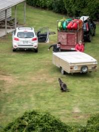 Seal overseeing the caravan being hooked up