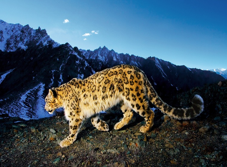 snow leopard in hemis national park