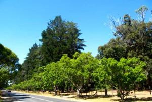Tokai-Trees