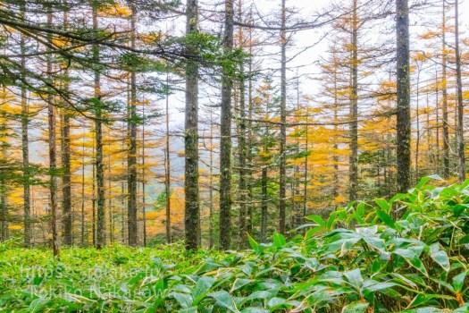 北八ヶ岳・カラマツの黄葉