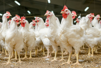 How to Start Poultry Farming Without Losing any Chicken