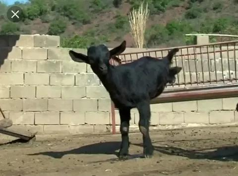 Goat Sets New Record
