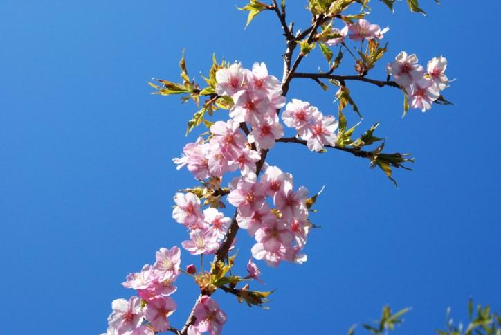 頼朝桜まつり