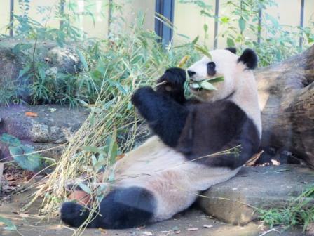 Shin Shin in Ueno Zoo, Tokyo, Japan