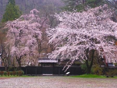 角館桜まつり開催日駐車場開花情報