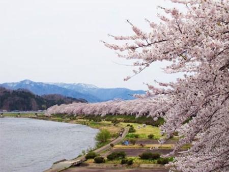 角館桜まつり開催日駐車場開花予想