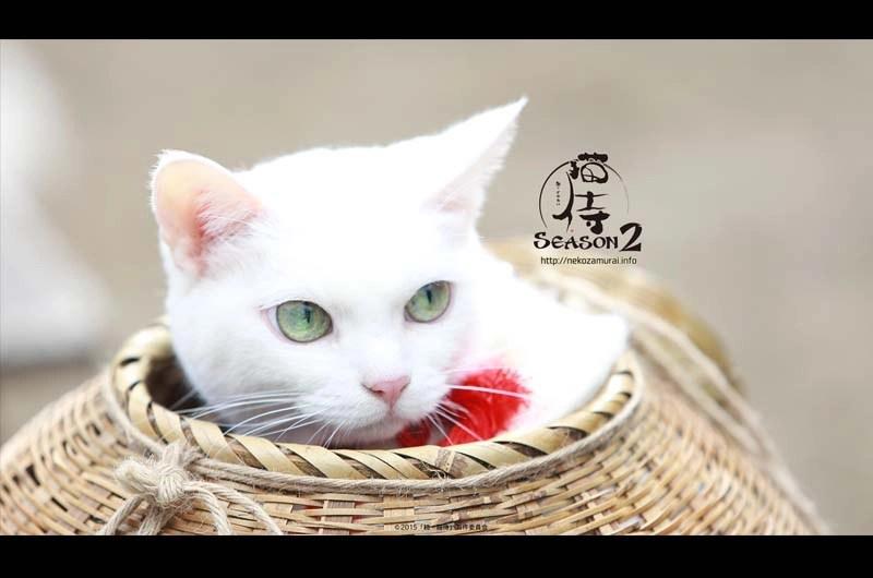 """女優猫のあなごさん密着される!猫侍""""玉之丞""""のテレビ出演!タレント猫の大スターが可愛い!"""