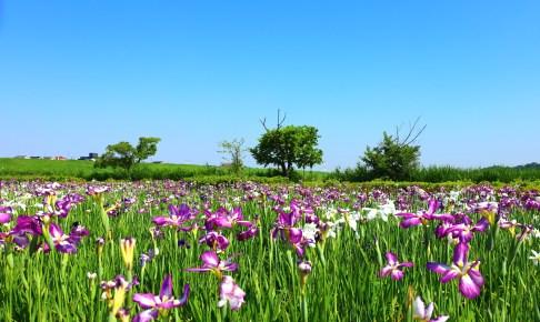 小岩菖蒲園
