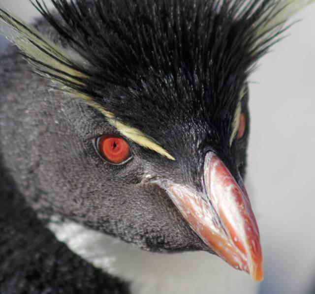 ミナミイワトビペンギン (冬期のみ)