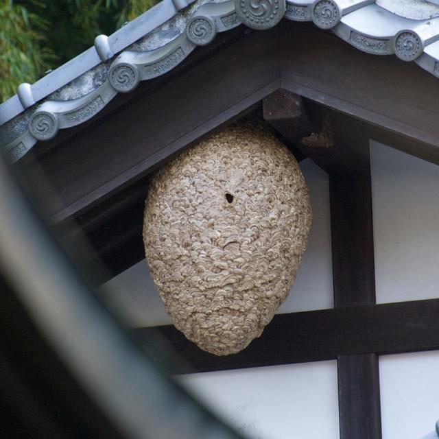 Гнездо японского шершня.