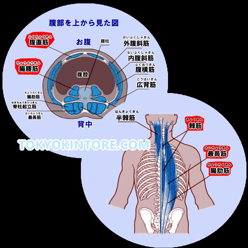 腹筋と腸腰筋と脊柱起立筋を鍛える