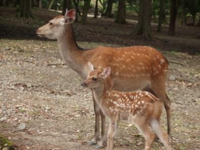 Cervos no parque de Nara, Japão